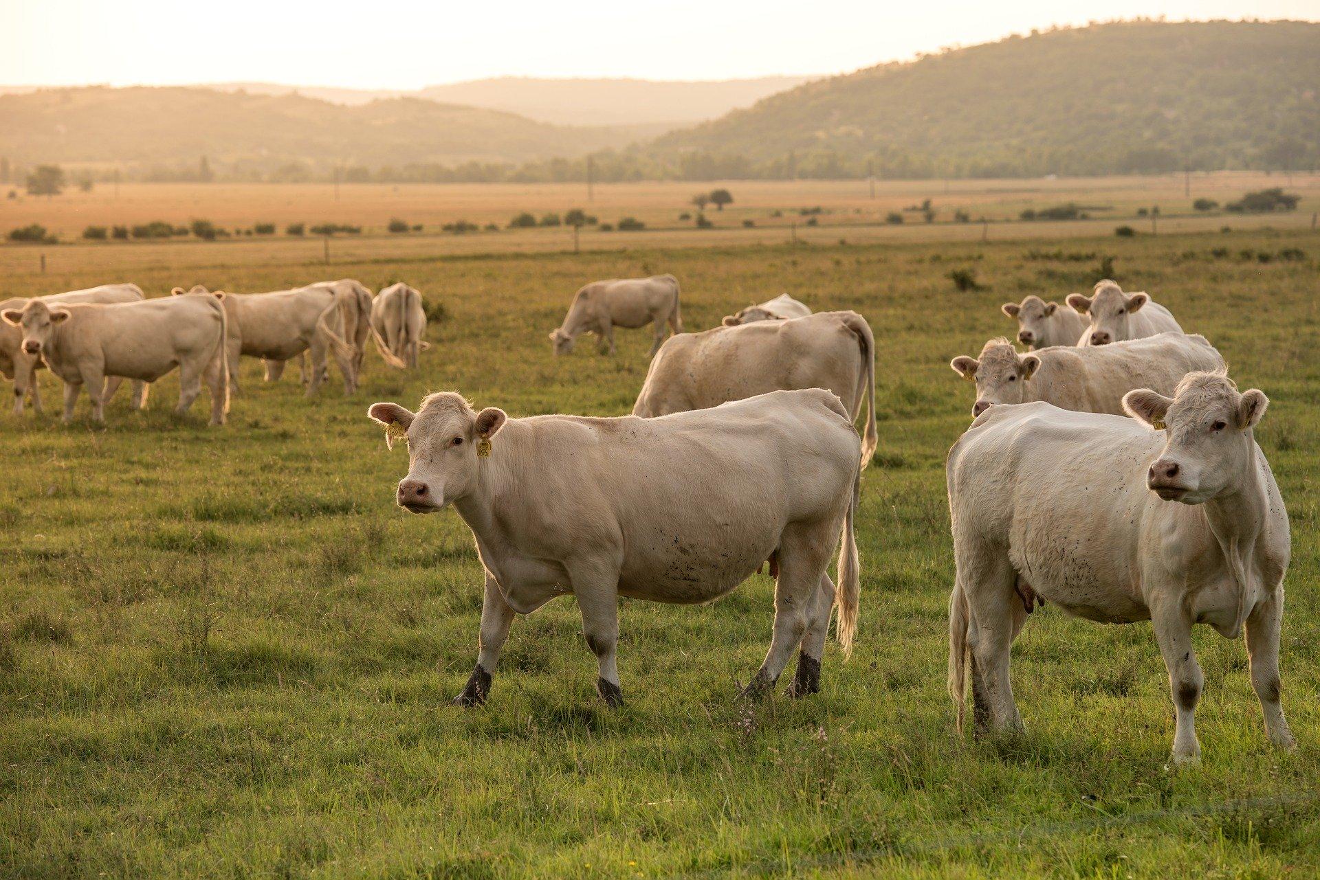 vache-normande