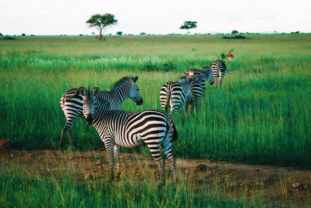 Zebres-qui-broutent
